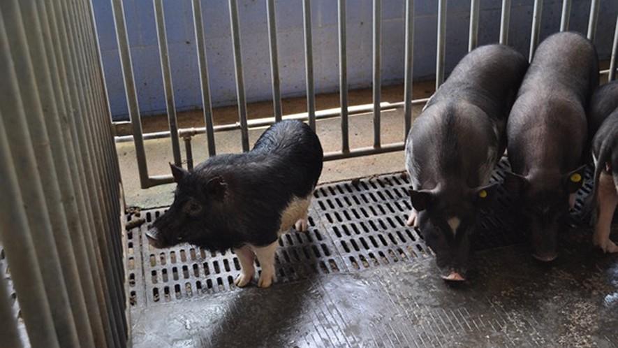Bgi gene edited micro pig left stands next to some bama mini pigs